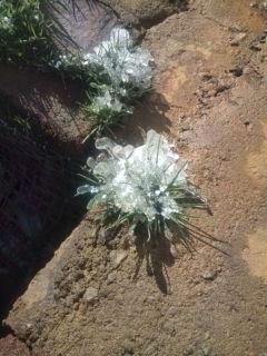 これは樹ならず草氷?
